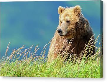 Portrait Of A Brown Bear  Portrait Canvas Print by Deb Garside