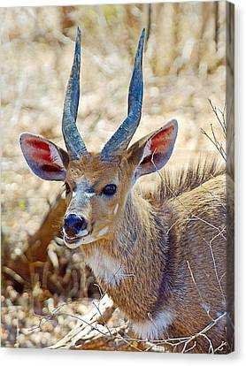 Portrait Of A Bushbuck In Kruger National Park-south Africa  Canvas Print by Ruth Hager