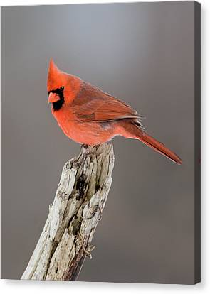 Portrait Of A Cardinal Canvas Print