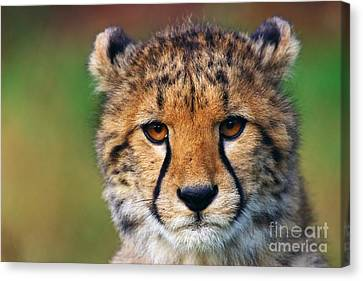 Canvas Print featuring the photograph Portrait Of A Cheetah Cub by Nick  Biemans