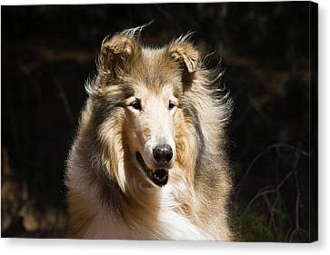 Scottish Dog Canvas Print - Portrait Of A Collie With Dark by Zandria Muench Beraldo
