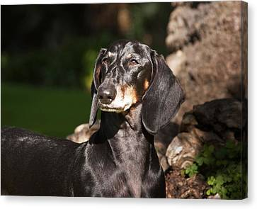 Courage Canvas Print - Portrait Of A Dachshund Standing by Zandria Muench Beraldo