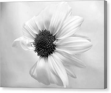 Portrait Of A Daisy Canvas Print by Louise Kumpf