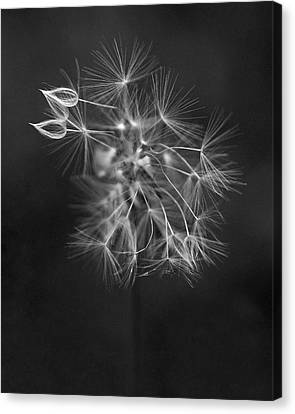 Portrait Of A Dandelion Canvas Print by Rona Black