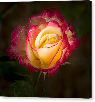 Portrait Of A Double Delight Rose Canvas Print by Jean Noren