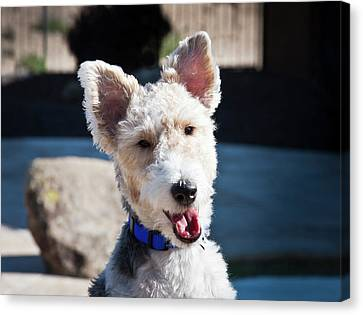 Portrait Of A Fox Terrier Puppy Sitting Canvas Print by Zandria Muench Beraldo