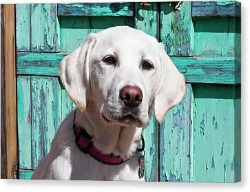 Portrait Of A Goldendoodle Puppy Canvas Print by Zandria Muench Beraldo