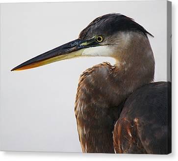 Portrait Of A Great Blue Heron - # 19 Canvas Print by Paulette Thomas