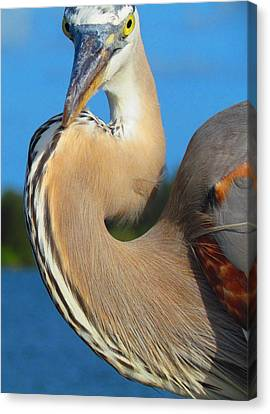 Great Blue Heron Canvas Print - Portrait Of A Great Blue Heron by Carol R Montoya