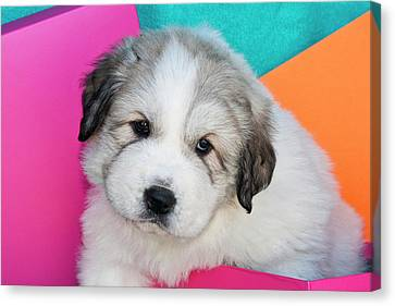 Portrait Of A Great Pyrenees Puppy Canvas Print by Zandria Muench Beraldo