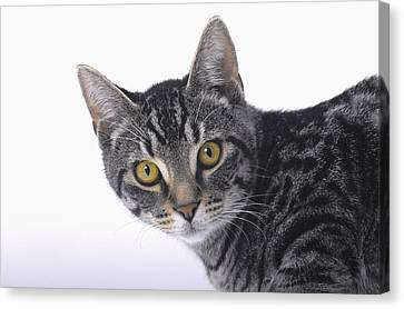 Portrait Of A Grey Tabby Catvancouver Canvas Print by Thomas Kitchin & Victoria Hurst