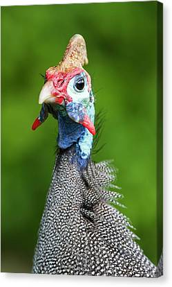 Portrait Of A Helmeted Guineafowl Canvas Print by Peter Chadwick