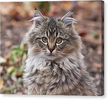 Portrait Of A Maine Coon Kitten Canvas Print by Rona Black
