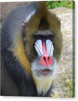 Portrait Of A Mandrill Canvas Print by Jim Fitzpatrick