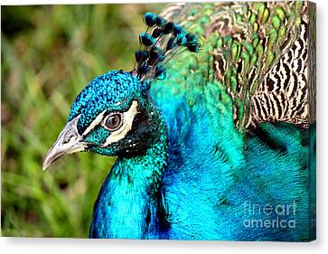 Canvas Print featuring the photograph Portrait Of A Peacock by Kathy  White