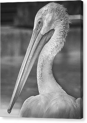 Portrait Of A Pelican Canvas Print by Jon Woodhams