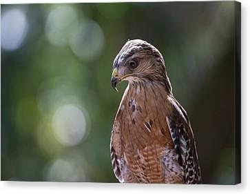 Portrait Of A Perched Hawk With Intense Canvas Print by Sheila Haddad