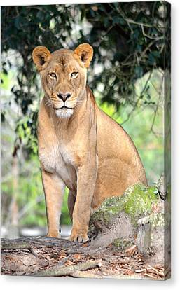 Portrait Of A Proud Lioness Canvas Print