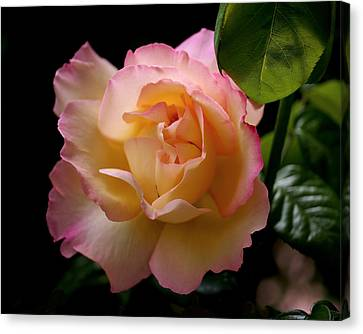 Portrait Of A Rose Canvas Print by Rona Black