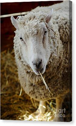 Portrait Of A Sheep Eating Hay Canvas Print by Amy Cicconi