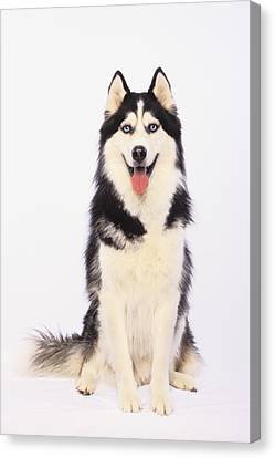 Portrait Of A Siberian Huskybritish Canvas Print by Thomas Kitchin & Victoria Hurst