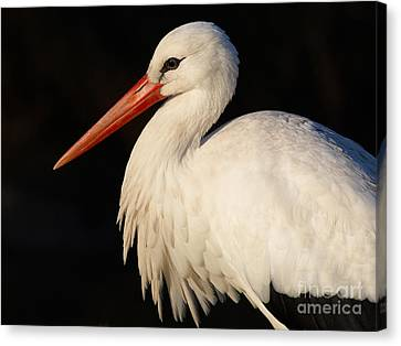 Portrait Of A Stork With A Dark Background Canvas Print