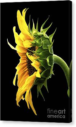 Portrait Of A Sunflower Canvas Print by Gwyn Newcombe