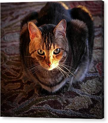 Portrait Of A Tabby Cat With Sunlight Canvas Print by Al Petteway & Amy White