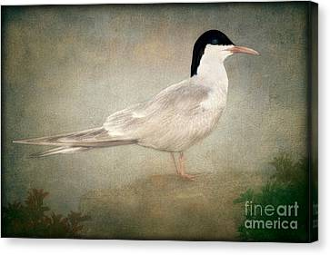 Portrait Of A Tern Canvas Print by Tom York Images