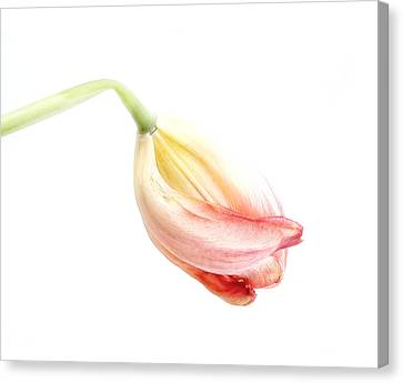 Portrait Of A Tulip In Yellow And Pink Canvas Print by Louise Kumpf