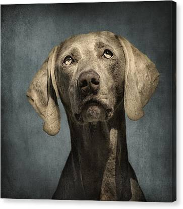 Portrait Of A Weimaraner Dog Canvas Print