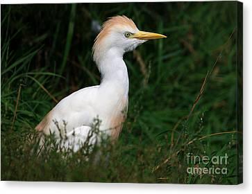 Portrait Of A White Egret Canvas Print
