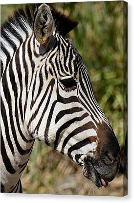 Portrait Of A Zebra Canvas Print by Maria Urso