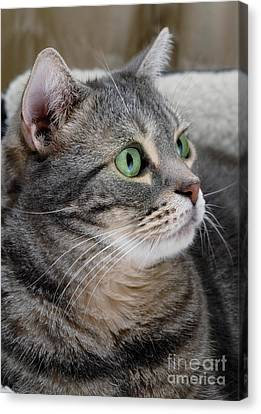 Portrait Of An Ameriican Shorthair Cat Canvas Print