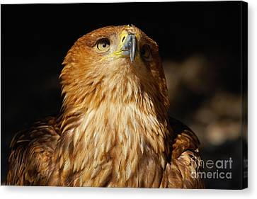 Portrait Of An Eastern Imperial Eagle Canvas Print by Nick  Biemans