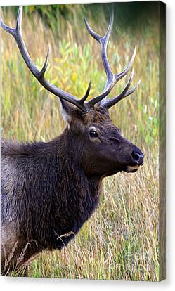 Portrait Of An Elk Canvas Print