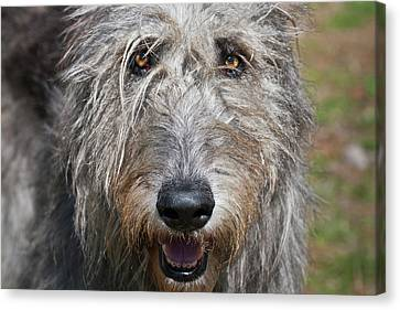 Sight Hound Canvas Print - Portrait Of An Irish Wolfhound by Zandria Muench Beraldo