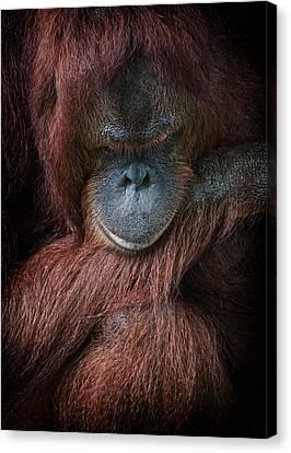 Canvas Print featuring the photograph Portrait Of An Orangutan by Zoe Ferrie