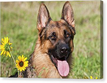 Portrait Of German Shepherd Sitting Canvas Print by Zandria Muench Beraldo