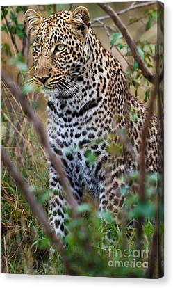 Portrait Of Leopard Male Paja In Masai Mara Canvas Print