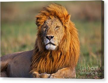 Portrait Of Lion Romeo II In Masai Mara Canvas Print by Maggy Meyer