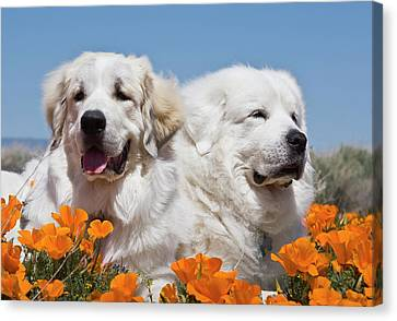 Portrait Of Two Great Pyrenees Lying Canvas Print by Zandria Muench Beraldo