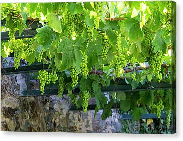 Grapevines Canvas Print - Portugal, Douro Valley, Grapes by Emily Wilson