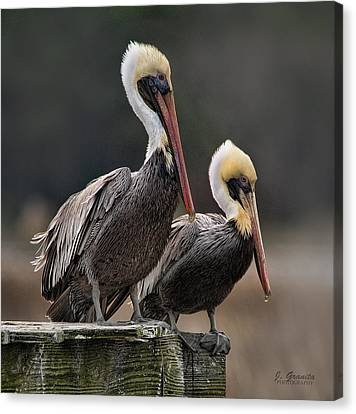 South Carolina State Bird Canvas Print - Posin' Pelicans by Joe Granita