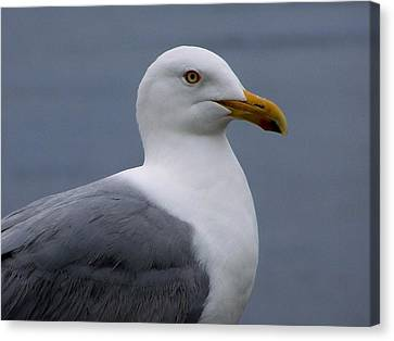 Canvas Print featuring the photograph Posing Gull by Gene Cyr