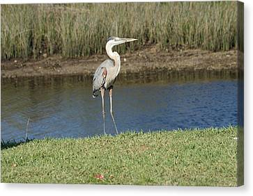 Posing Heron Canvas Print by Lois Lepisto