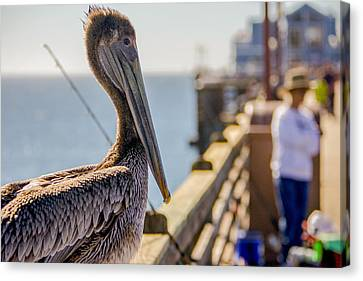 Canvas Print featuring the photograph Posing Pelican by Robert  Aycock