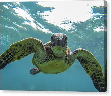 Maui Canvas Print - Posing Sea Turtle by Brad Scott