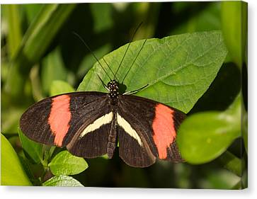 Canvas Print featuring the photograph Postman Butterfly by Sandy Molinaro