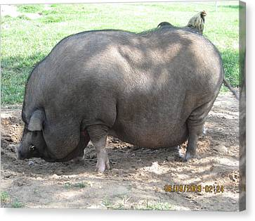 Pot Belly Pig Canvas Print by Dick Willis